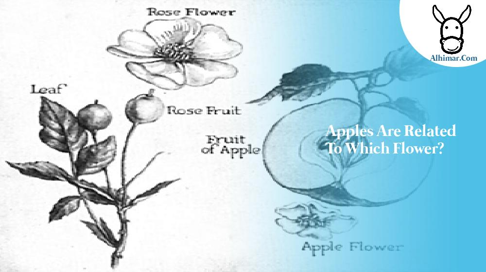 Apples are related to which flower?