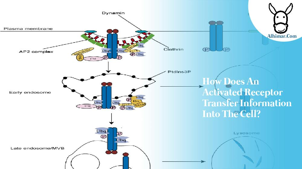 how does an activated receptor transfer information into the cell?
