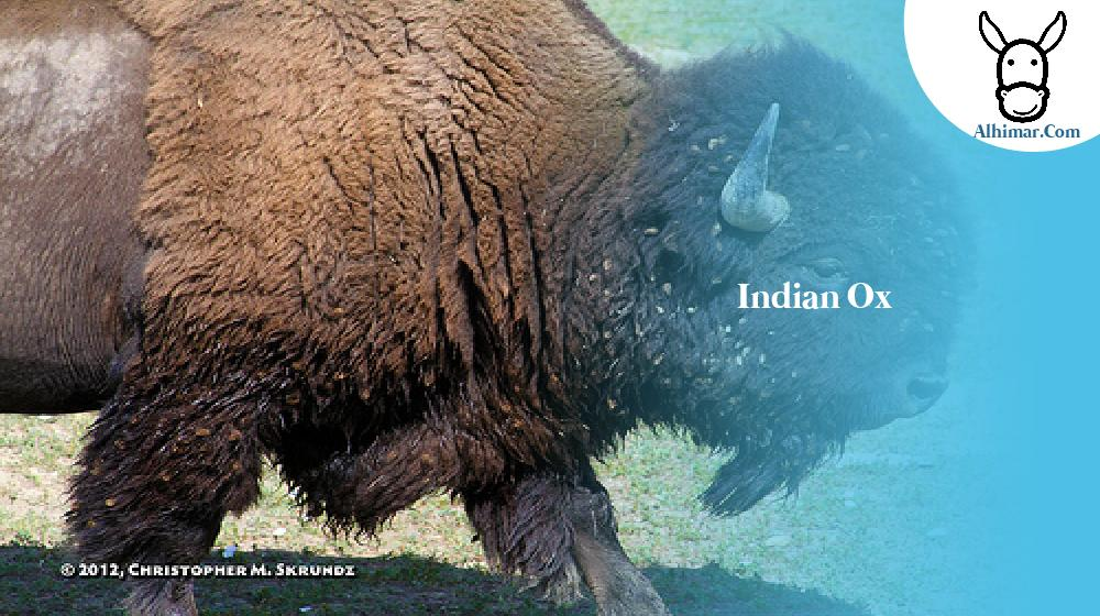 indian ox