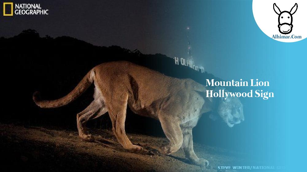mountain lion hollywood sign