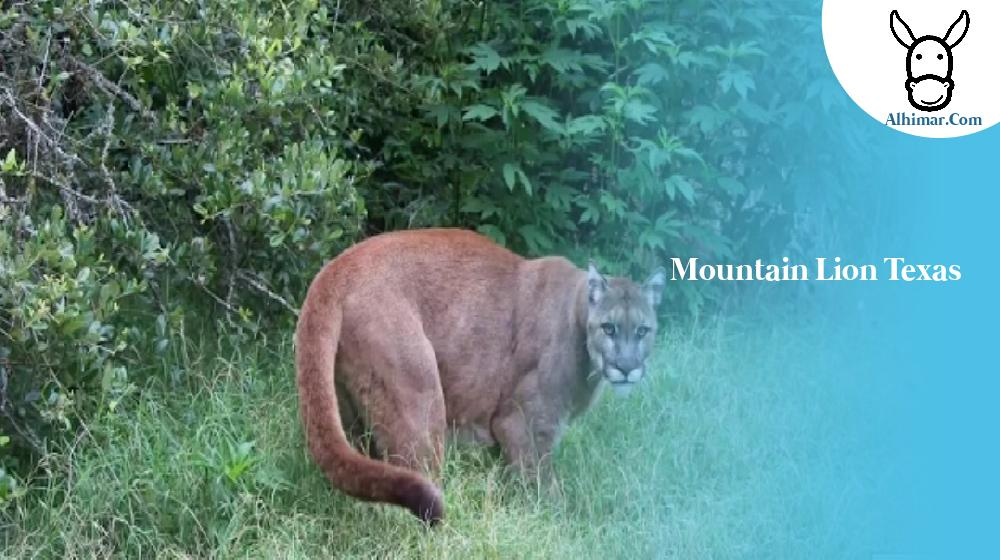 mountain lion texas