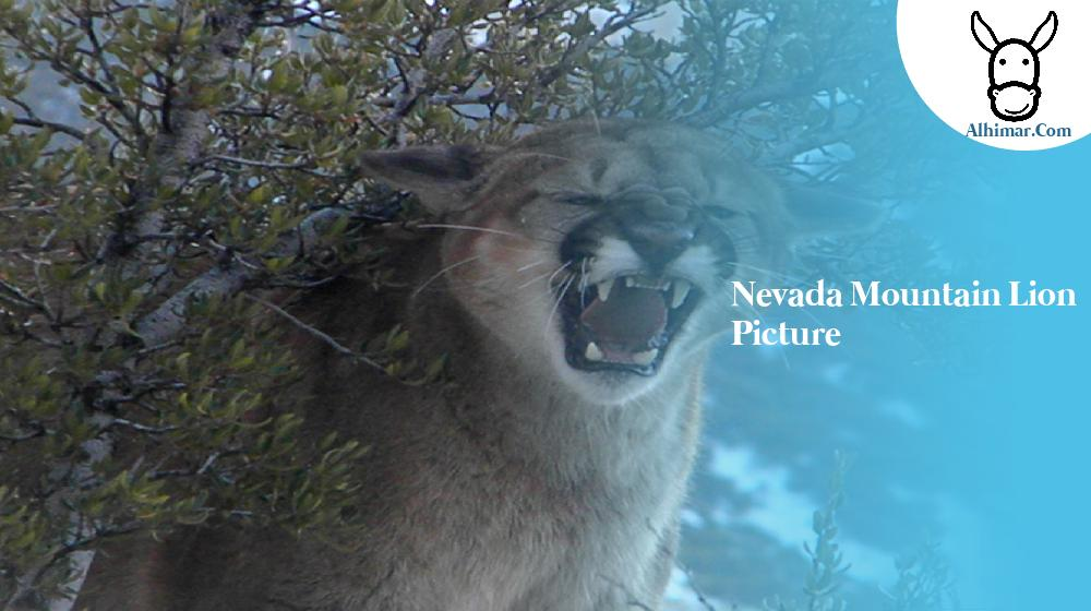 nevada mountain lion picture