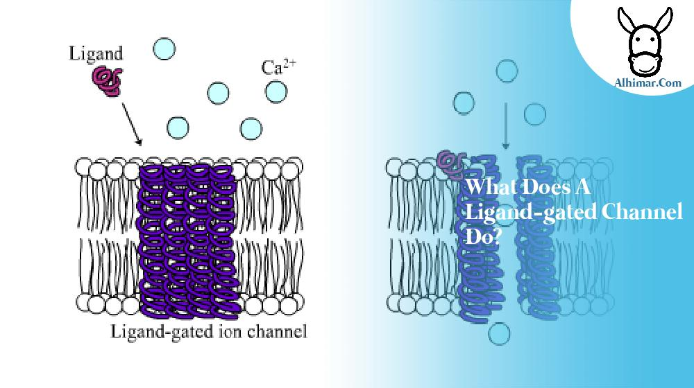 what does a ligand-gated channel do?