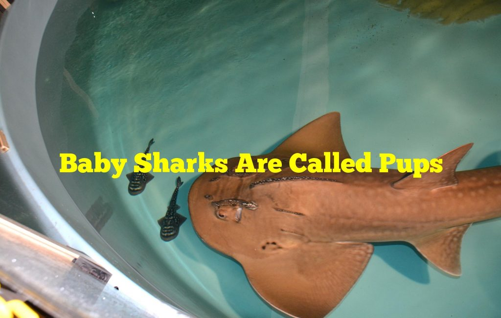 Baby Sharks Are Called Pups