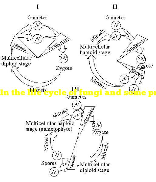 In the life cycle of fungi and some protists, which of the following processes leads to the formation of gametes?