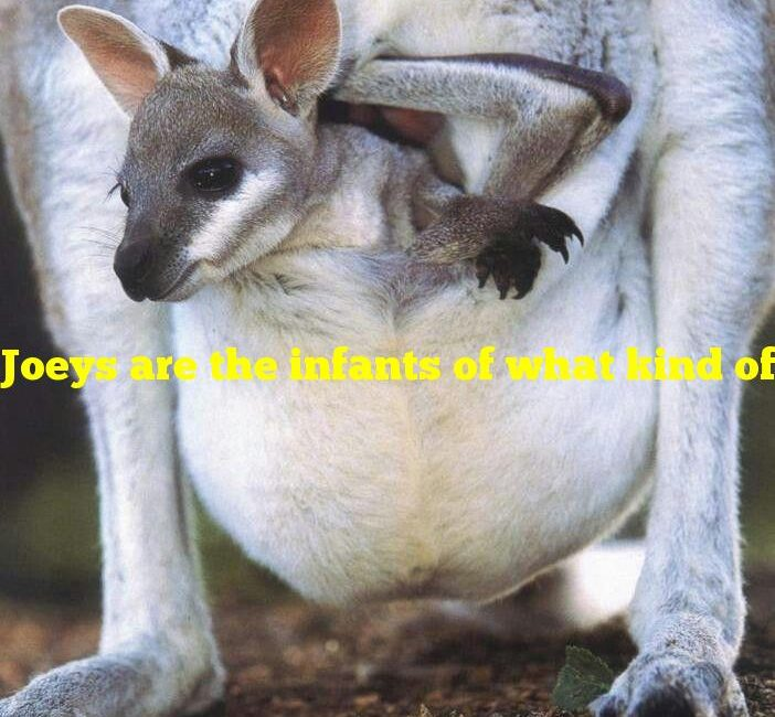 Joeys are the infants of what kind of animal?