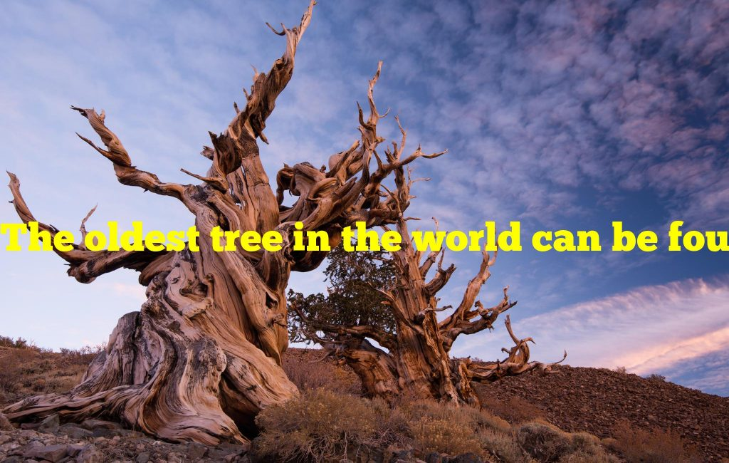 The oldest tree in the world can be found in which California preserve?