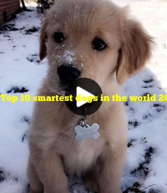 Top 10 smartest dogs in the world 2021
