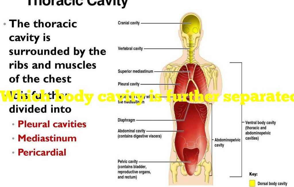 Which body cavity is further separated into other cavities
