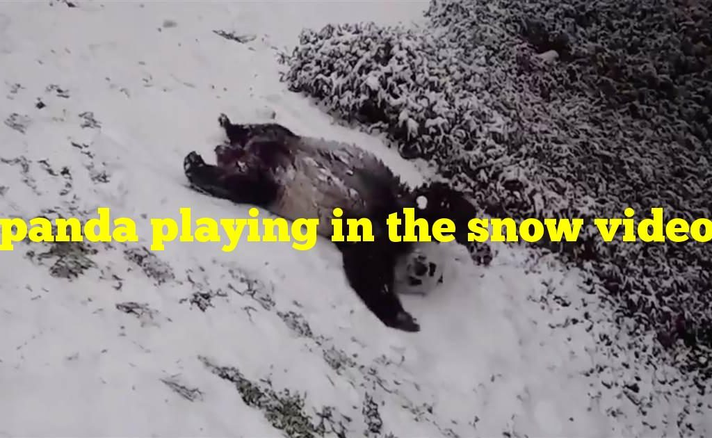 panda playing in the snow video