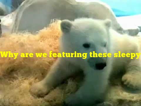Why are we featuring these sleepy polar bear cubs today?