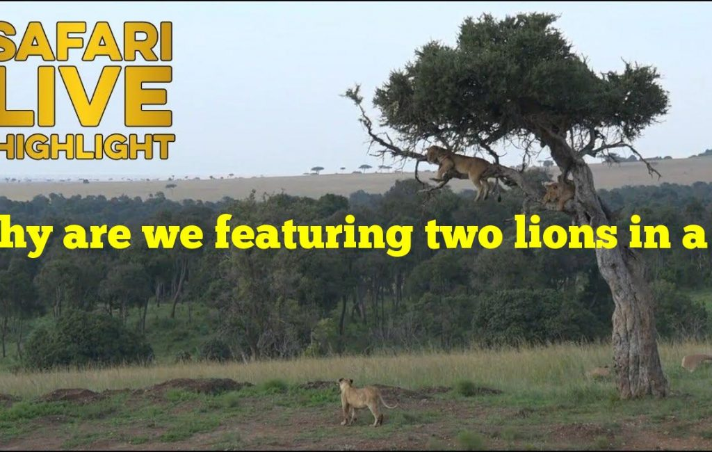 Why are we featuring two lions in a tree today?