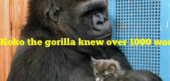 Koko the gorilla knew over 1000 words in a modified form of what?
