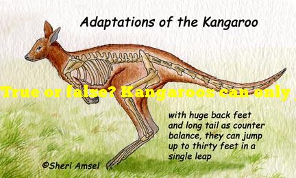 True or false? Kangaroos can only jump forwards.