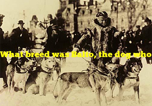 What breed was Balto, the dog who ran medicine to children in a blizzard?