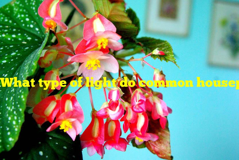 What type of light do common houseplant begonias require?