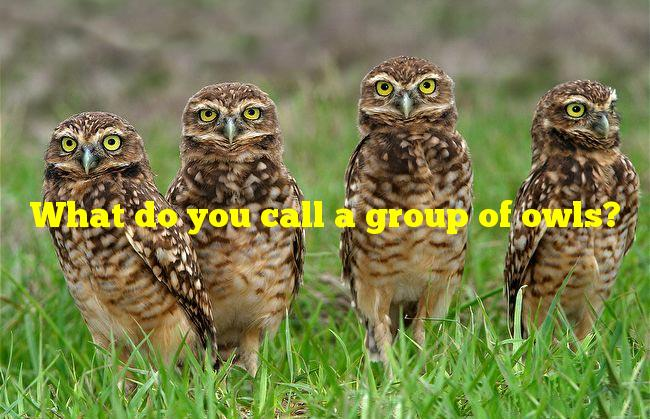 What do you call a group of owls?
